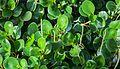 Peperomia obtusifolia, Conservatorio botánico, Fort Wayne, Indiana, Estados Unidos, 2012-11-12, DD 01.jpg