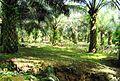 Perkebunan kelapa sawit milik rakyat (43).JPG
