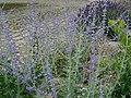 Perovskia-atriplicifolia-2.jpg