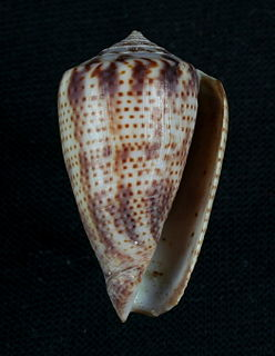 <i>Conasprella perplexa</i> species of mollusc