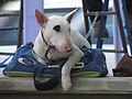 Perro descansando (9000791849).jpg