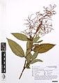 Persicaria wallichii Greuter and Burdet (AM AK357194-2).jpg