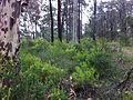 Persoonia pauciflora 7.jpg