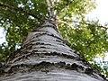 Perspektiva, Drveće, Niš (1).jpg
