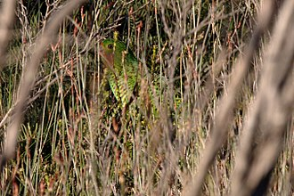 Eastern ground parrot - Image: Pezoporus wallicus vegitation 8