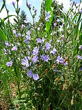 Pflanze mit blauen Blüten