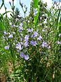 Pflanze mit blauen Blüten.JPG