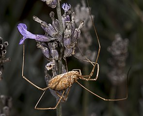 Kosec rožkatý - samička zboku