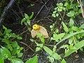 Phallus indusiatus (4789980228).jpg