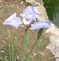 Phalocallis coelestis 26072010 1 (10609061793).jpg