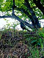 Phasianus versicolor under the tree.jpg