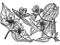 Philadelphus inodorus drawing 03.png