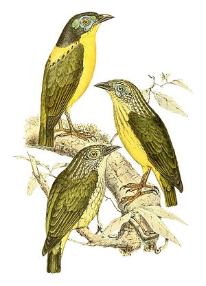 1867 in birding and ornithology - Schlegel's asity