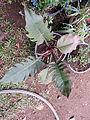 Philodendrum evansii-1-shevaroy nursery-yercaud-salem-India.JPG