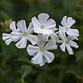 Phlox paniculata 'Fujiyama' (d.j.b.) 02.jpg