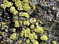 Physarum polycephalum 9986812.jpg
