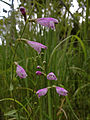 Physostegia virginiana - Obedient Plant.jpg