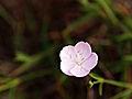 Piana Calanche Dianthus furcatus.jpg