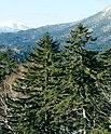 Picea jezoensis Mt Oakan.jpg
