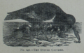 Picture Natural History - No 140 - The Oyster Catcher.png