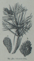 Picture Natural History - No 381 - Scotch Fir.png