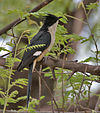 Pied Cuckoo (Clamator jacobinus) at Hyderabad, AP W 142.jpg
