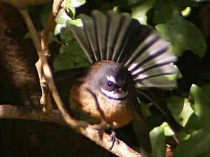 New Zealand fantail -  Bird with tail fanned out showing how it got its name