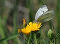 Pieris rapae - Small White 01.jpg