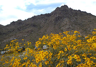 Phoenix Mountains - Brittlebush blooming near the base of Piestewa Peak in the Phoenix Mountains.