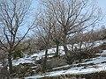 PikiWiki Israel 1551 Hermon naked trees קבוצת עצים בשלכת במעלה החרמון.jpg