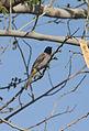 PikiWiki Israel 35846 Pycnonotus on the tree.jpg