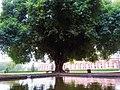 Pilkhan (Ficus infectora).jpg