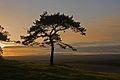 Pine tree on Pentridge Hill at sun-set - geograph.org.uk - 306224.jpg