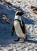 Pingüino de El Cabo (Spheniscus demersus), Playa de Boulders, Simon's Town, Sudáfrica, 2018-07-23, DD 12.jpg