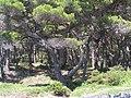 Pinie - panoramio.jpg