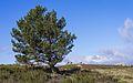 Pinus halepensis, Rosis, Hérault (01).jpg