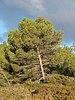 Pinus halepensis, Vic-la-Gardiole, Hérault 01.jpg