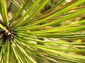 Pinus nigra (1111) 12.JPG