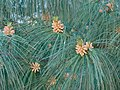 Pinus wallichiana 1844.jdp.JPG