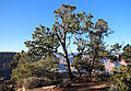 Pinyon Pines (Pinus edulis) along South Rim of Grand Canyon National Park 7941 - Flickr - Grand Canyon NPS.jpg