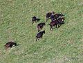 Pinzgauer Ziegen auf Bergweide in Rauris, Land Salzburg, Österreich 02.JPG