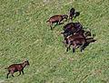 Pinzgauer Ziegen auf Bergweide in Rauris, Land Salzburg, Österreich 03.JPG