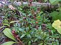 Pipsissewa (Chimaphila umbellata).JPG