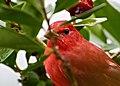 Piranga rubra (Cardenal abejero) - Flickr - Alejandro Bayer (2).jpg