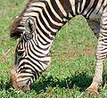 Plains Zebra (Equus quagga burchellii) grazing (33431515716).jpg