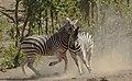 Plains zebra (common zebra or Burchell's zebra), Equus quagga at Kruger National Park, Limpopo, South Africa (48258302006).jpg