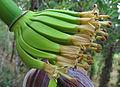 Plantain Flower 1.jpg