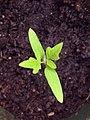 Plants-tomates-semis (cropped).jpg