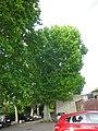 Platane à feuilles d'Erable centenaire.jpg