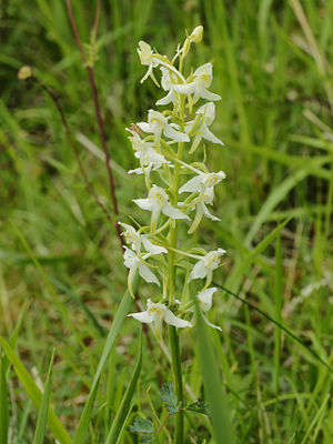 East Wood, Tidenham - Image: Platanthera chlorantha (flowers)